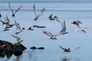 Observação de aves, ilha de são Jorge